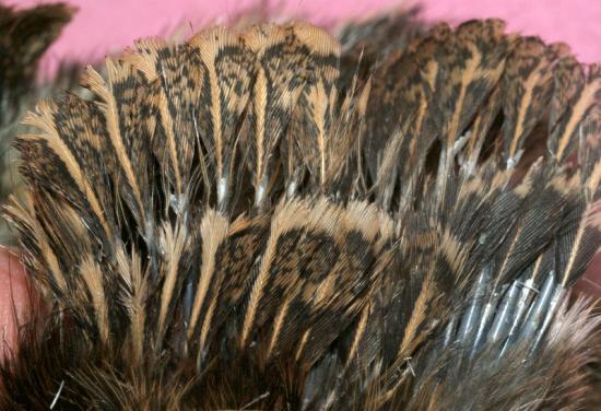 plumes formées dés la naissance, le poussin peut déjà voler