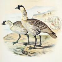 Lithographie de F. W. Frohawk (The Birds of the Sandwich Islands,1890-99)